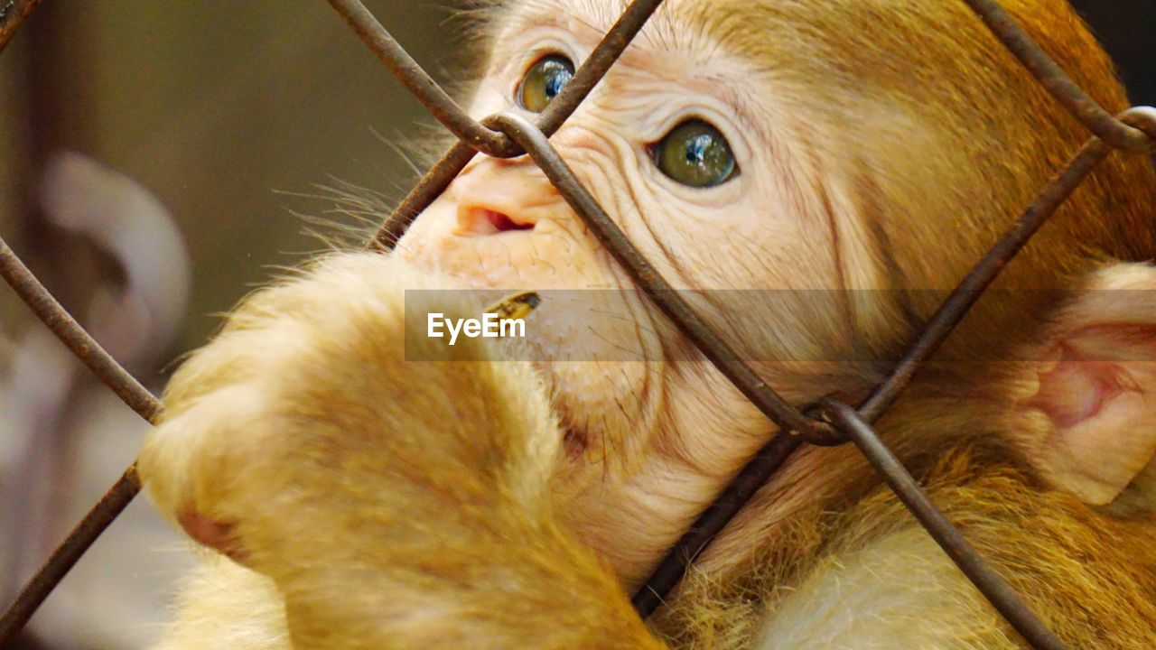 CLOSE-UP OF MONKEY LOOKING