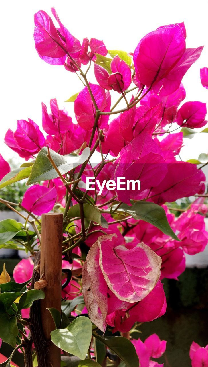 flower, pink color, growth, beauty in nature, petal, nature, fragility, no people, outdoors, freshness, day, plant, leaf, flower head, bougainvillea, close-up, blooming