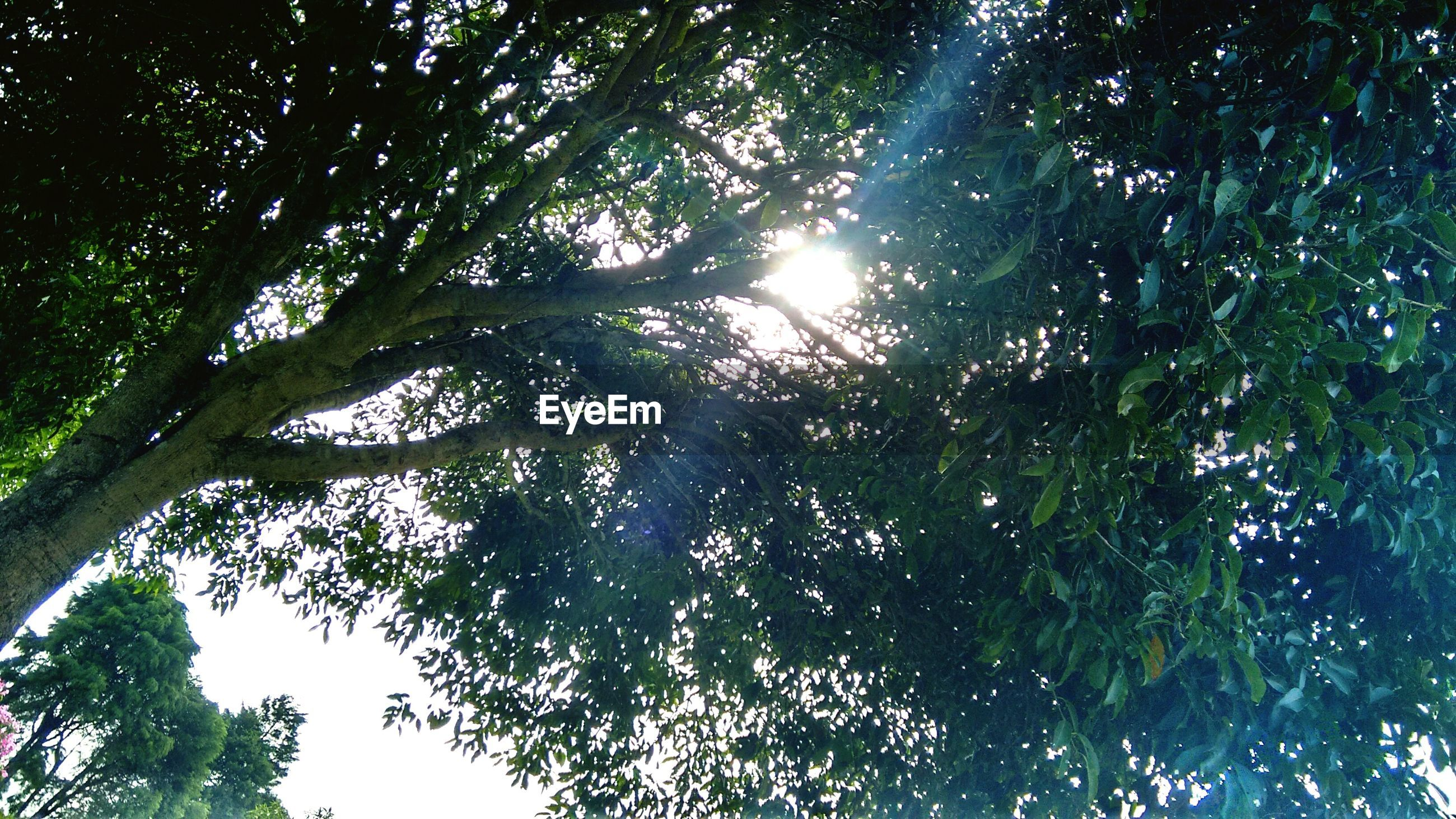 tree, low angle view, growth, branch, tranquility, sun, sunlight, nature, beauty in nature, sunbeam, sky, lens flare, scenics, forest, day, tranquil scene, outdoors, no people, tree trunk, green color