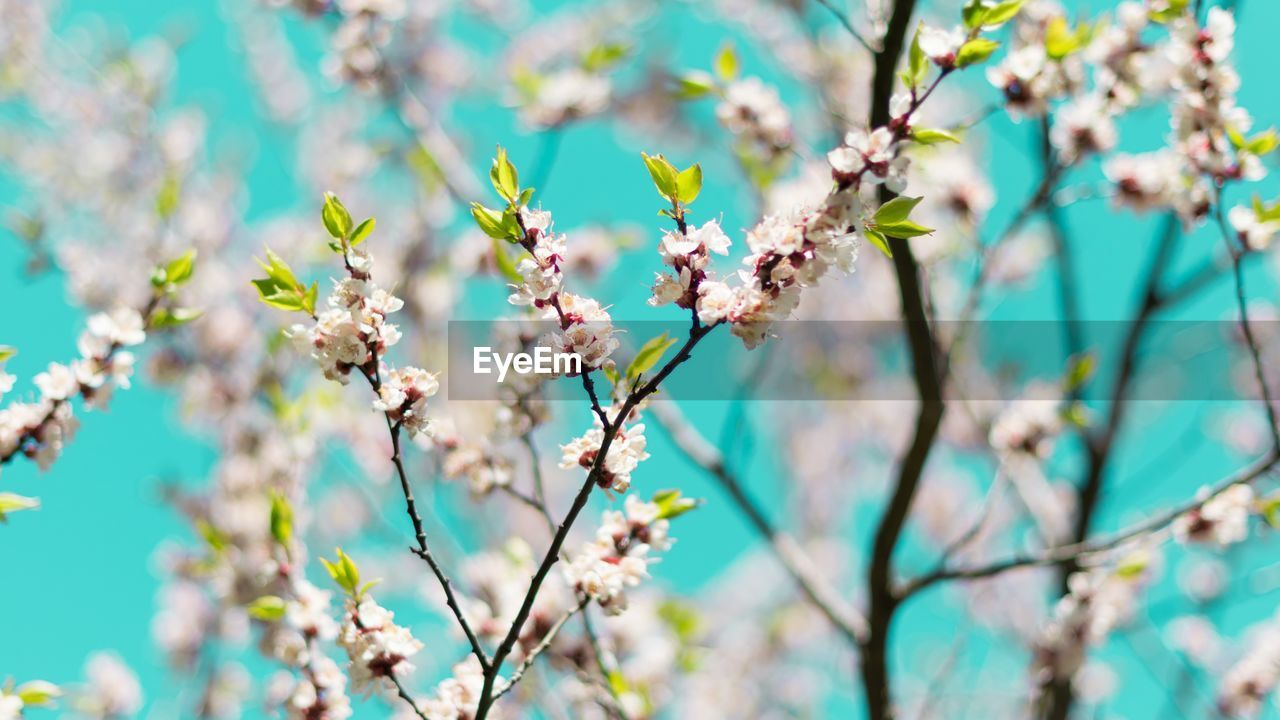 flowering plant, flower, plant, growth, fragility, vulnerability, beauty in nature, freshness, tree, focus on foreground, close-up, nature, day, no people, blossom, springtime, branch, selective focus, petal, botany, flower head, outdoors, cherry blossom, cherry tree, spring