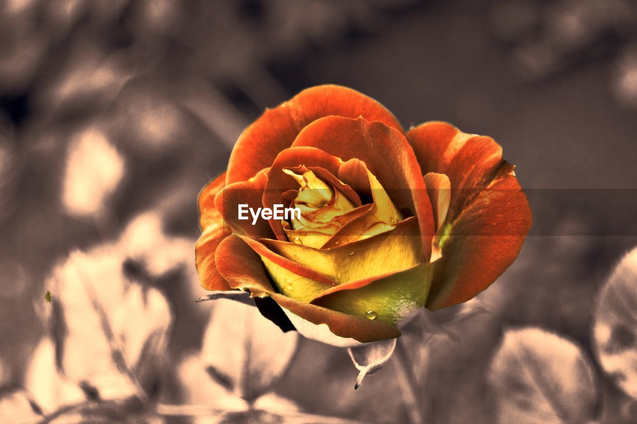 flower, flowering plant, beauty in nature, plant, freshness, fragility, vulnerability, petal, flower head, close-up, inflorescence, rose, growth, rose - flower, nature, focus on foreground, sunlight, day, no people, outdoors, sepal