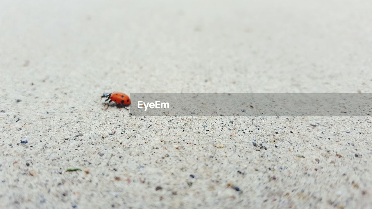 animal themes, animal, animal wildlife, animals in the wild, one animal, invertebrate, insect, beetle, ladybug, selective focus, day, no people, nature, outdoors, land, close-up, spotted, red, sand, high angle view