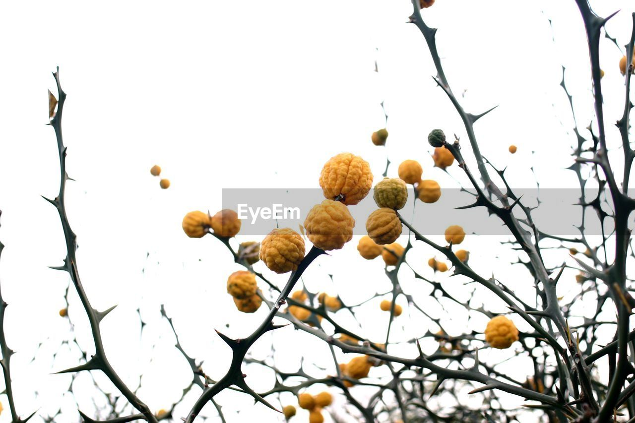 plant, tree, no people, sky, growth, branch, low angle view, food and drink, food, beauty in nature, nature, day, freshness, clear sky, close-up, outdoors, fruit, healthy eating, selective focus, focus on foreground