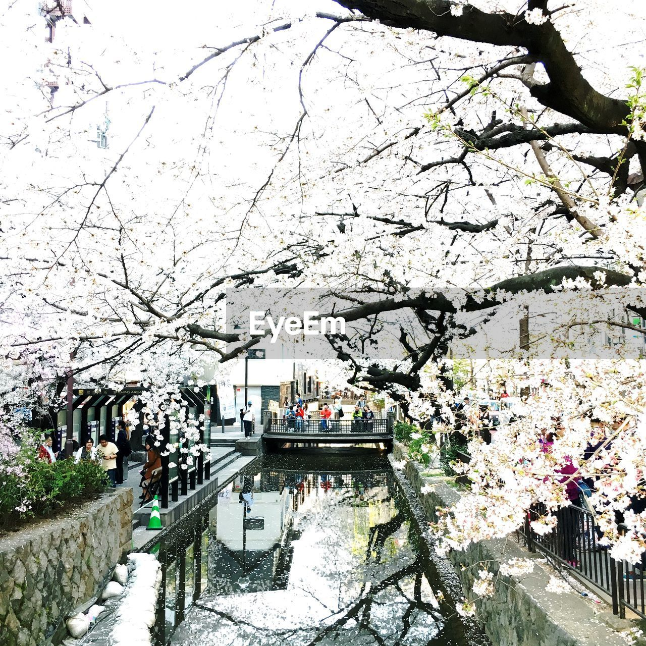 plant, tree, blossom, built structure, flower, springtime, architecture, cherry blossom, building exterior, flowering plant, nature, branch, city, day, fragility, cherry tree, growth, freshness, transportation, incidental people, outdoors, canal
