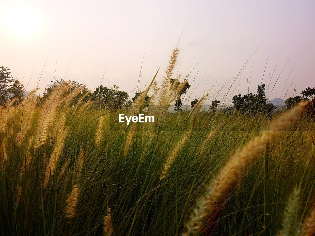 plant, growth, sky, land, nature, field, beauty in nature, grass, landscape, tranquility, environment, no people, cereal plant, crop, agriculture, tranquil scene, day, scenics - nature, wheat, rural scene, outdoors, timothy grass, stalk