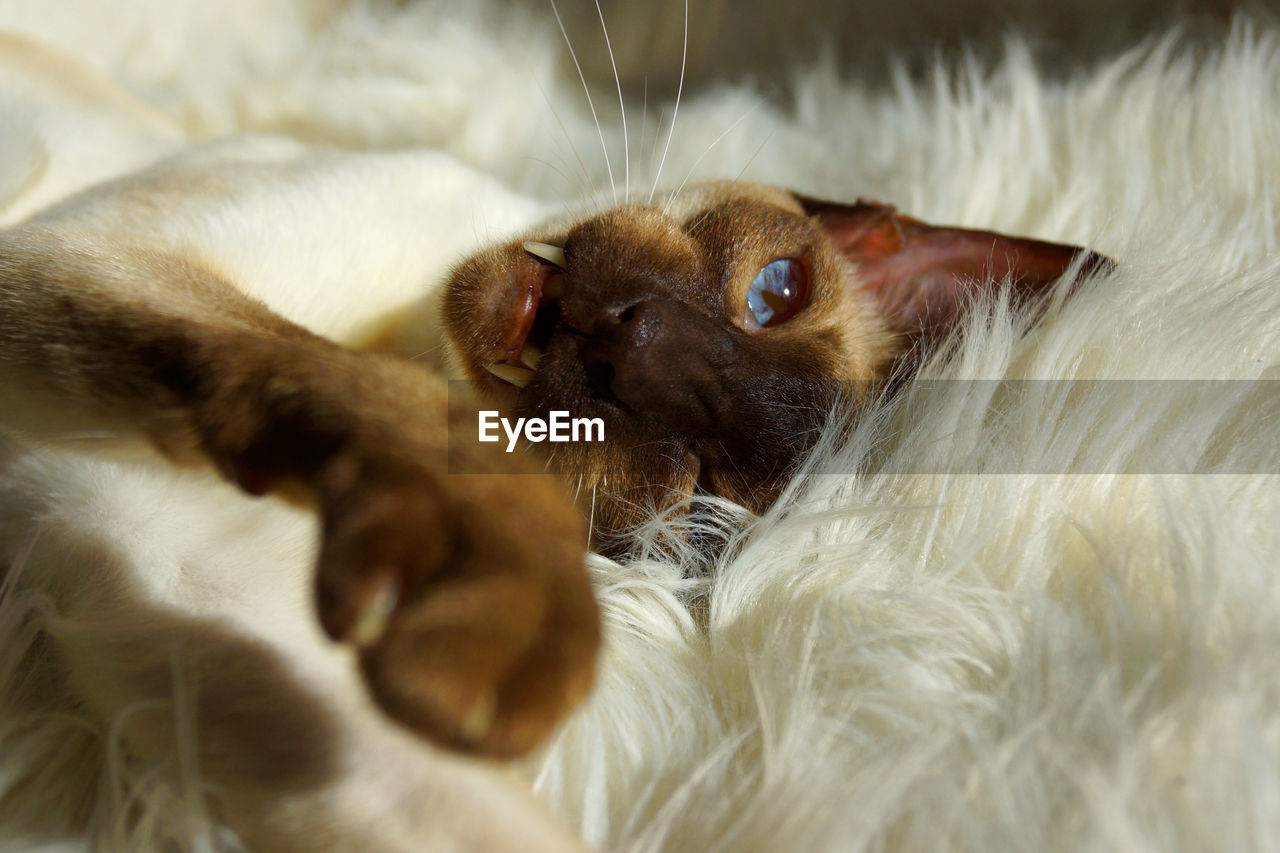 High Angle View Of Siamese Cat Lying On Soft Bed