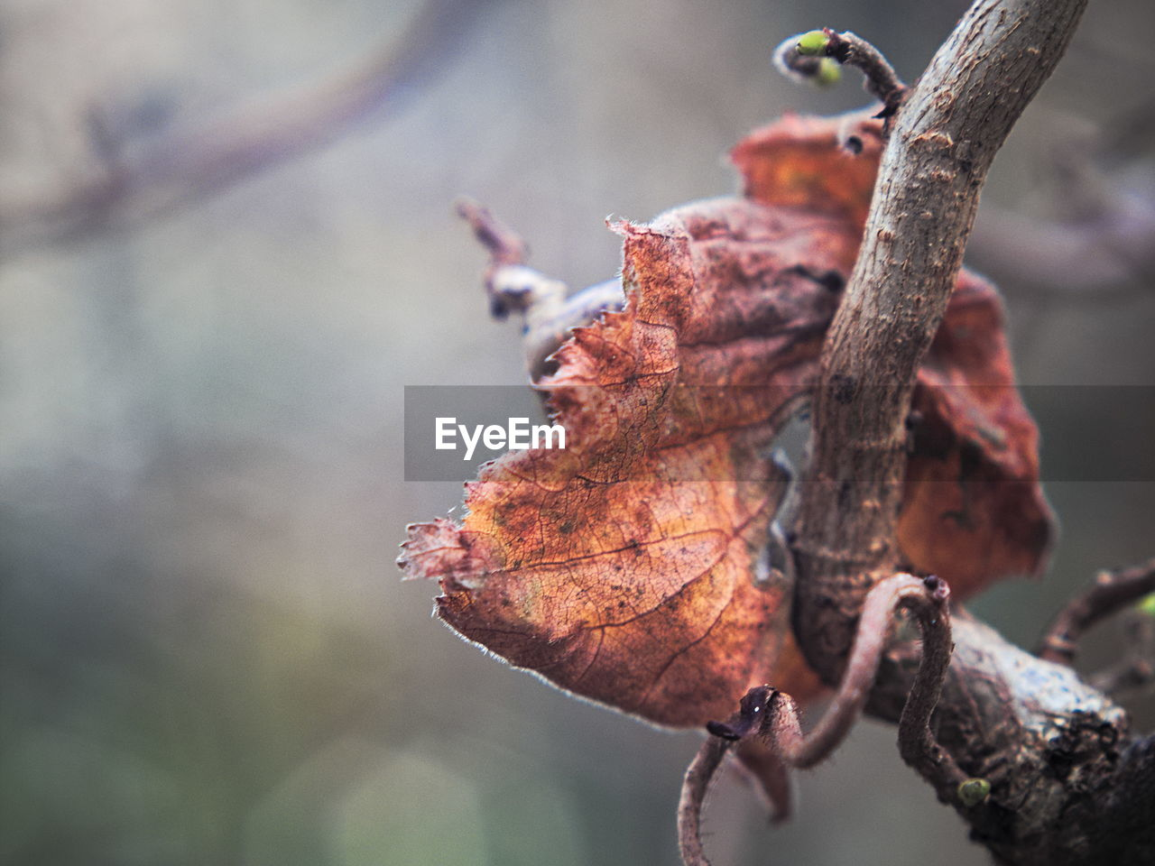 plant part, leaf, autumn, focus on foreground, close-up, plant, nature, change, tree, day, dry, selective focus, beauty in nature, no people, growth, vulnerability, branch, fragility, outdoors, brown, leaves, dried, dead plant, natural condition, maple leaf, wilted plant
