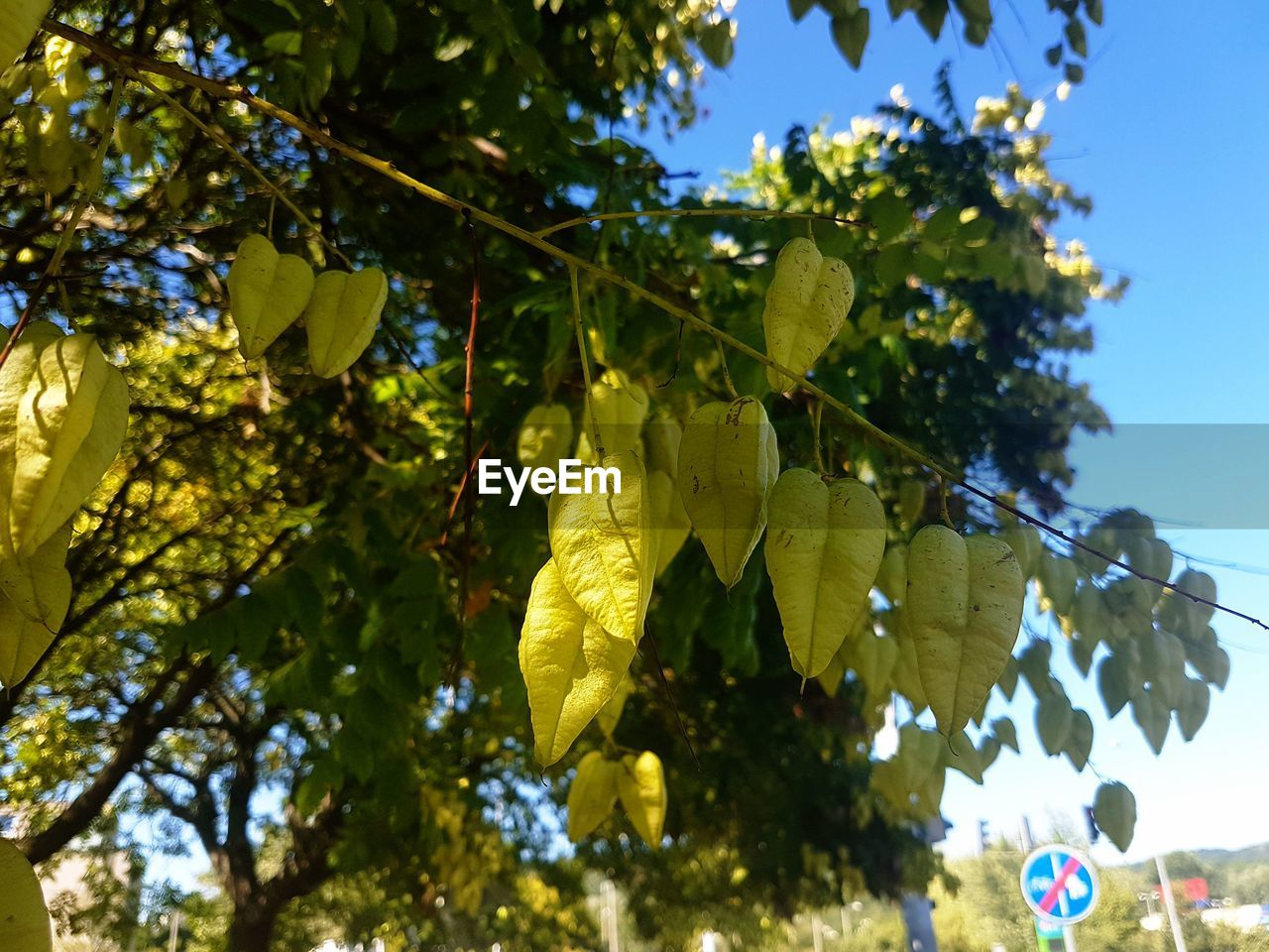 plant, tree, leaf, plant part, low angle view, growth, nature, focus on foreground, no people, day, fruit, hanging, healthy eating, sky, close-up, food, food and drink, sunlight, outdoors, freshness, ripe