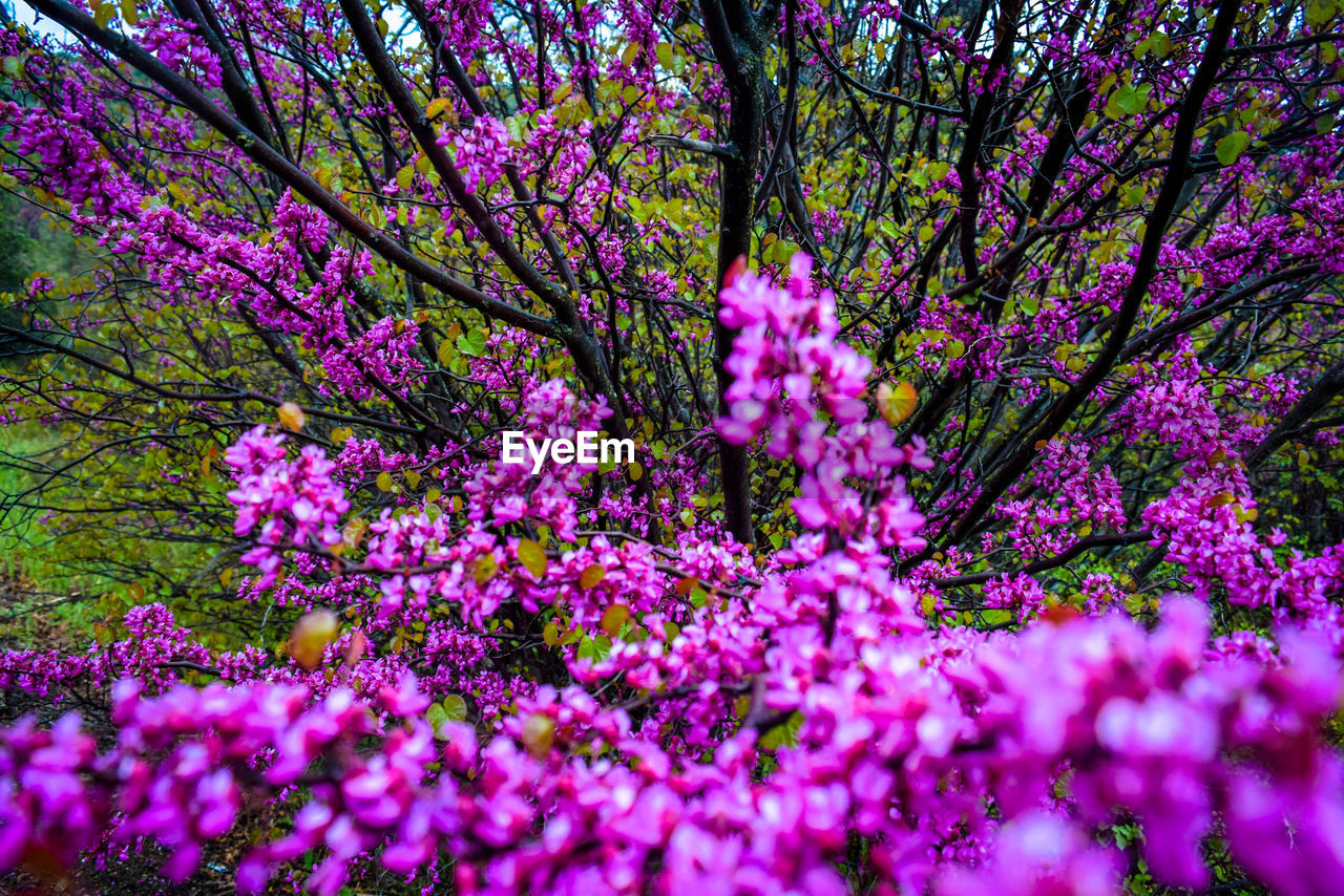 flower, tree, blossom, growth, pink color, beauty in nature, springtime, branch, fragility, nature, freshness, pink, botany, spring, no people, day, selective focus, outdoors, low angle view, blooming, close-up