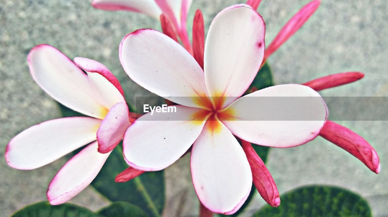 flower, flowering plant, petal, plant, fragility, vulnerability, beauty in nature, freshness, close-up, flower head, frangipani, inflorescence, growth, pink color, nature, day, focus on foreground, no people, outdoors, high angle view, pollen