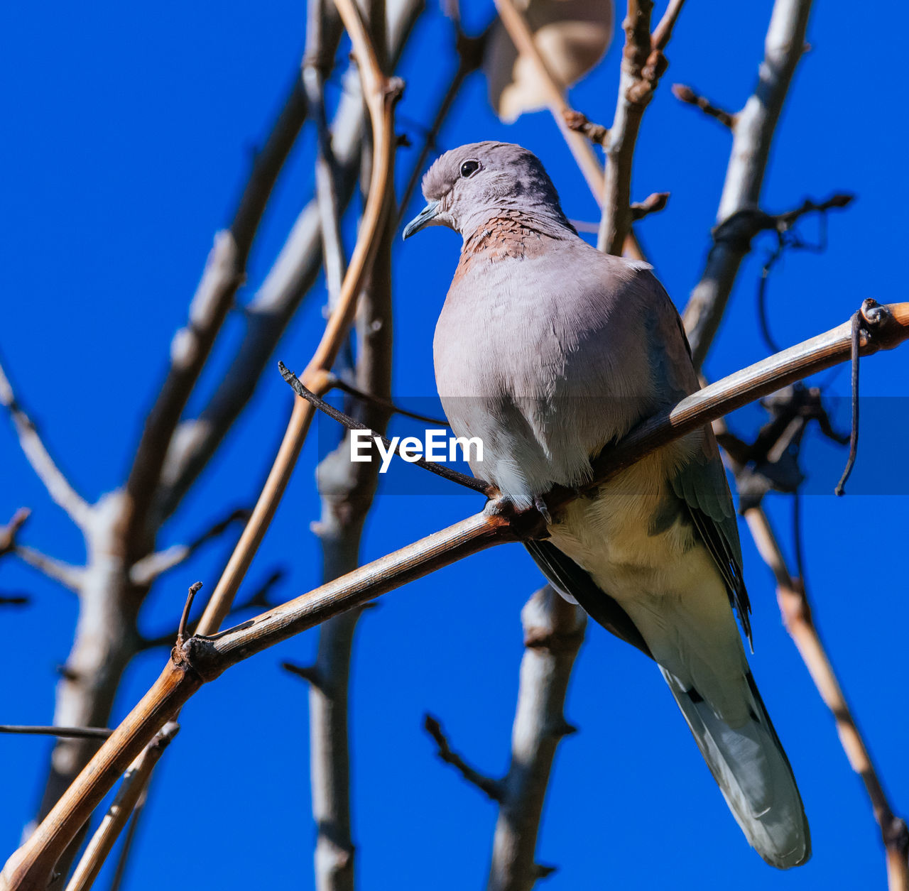 vertebrate, bird, perching, animal, animal themes, one animal, animal wildlife, low angle view, tree, branch, animals in the wild, blue, focus on foreground, nature, plant, sky, day, clear sky, no people, outdoors, mourning dove