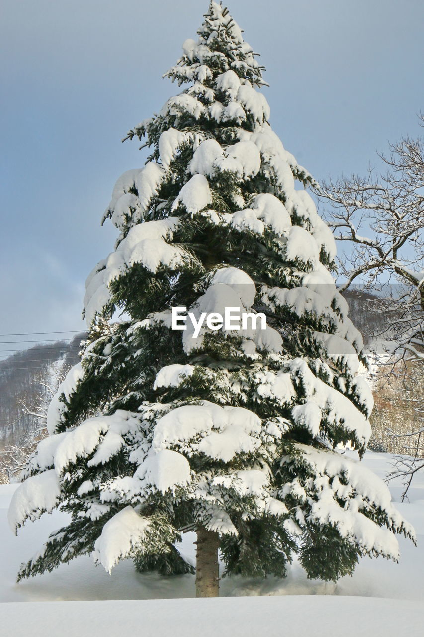 winter, tree, snow, cold temperature, nature, low angle view, outdoors, no people, day, beauty in nature, christmas tree, christmas, branch, tranquility, scenics, sky