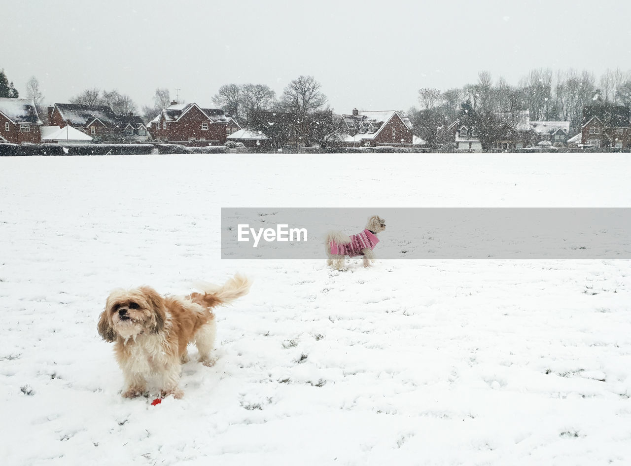 cold temperature, winter, snow, dog, pets, canine, mammal, domestic, animal themes, animal, domestic animals, one animal, vertebrate, nature, day, field, covering, no people, outdoors, snowing