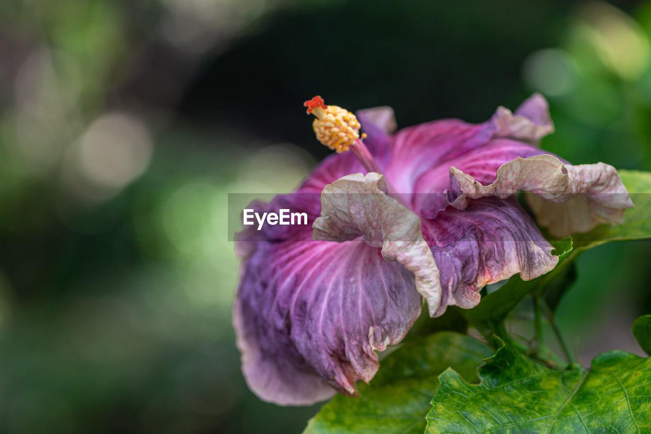 CLOSE-UP OF PINK ROSE PURPLE FLOWER