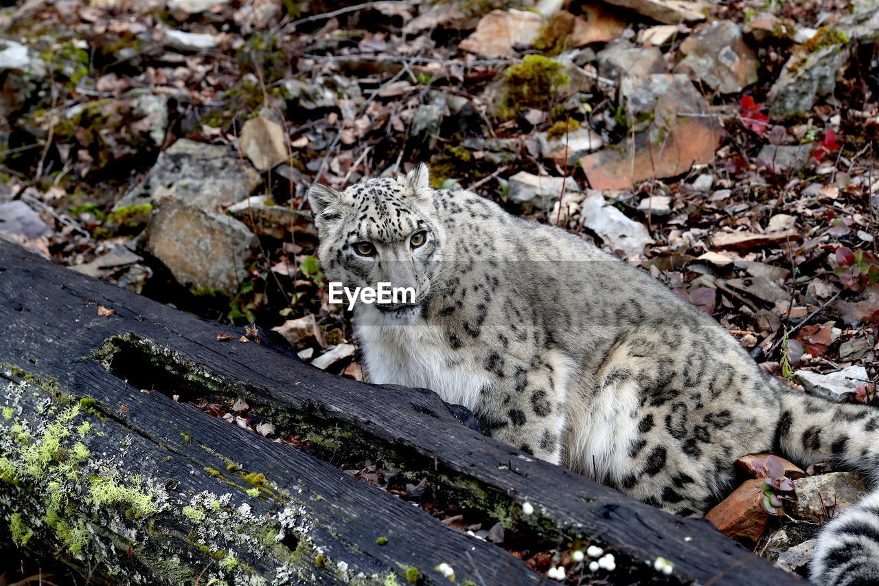 High Angle View Of Snow Leopard On Field