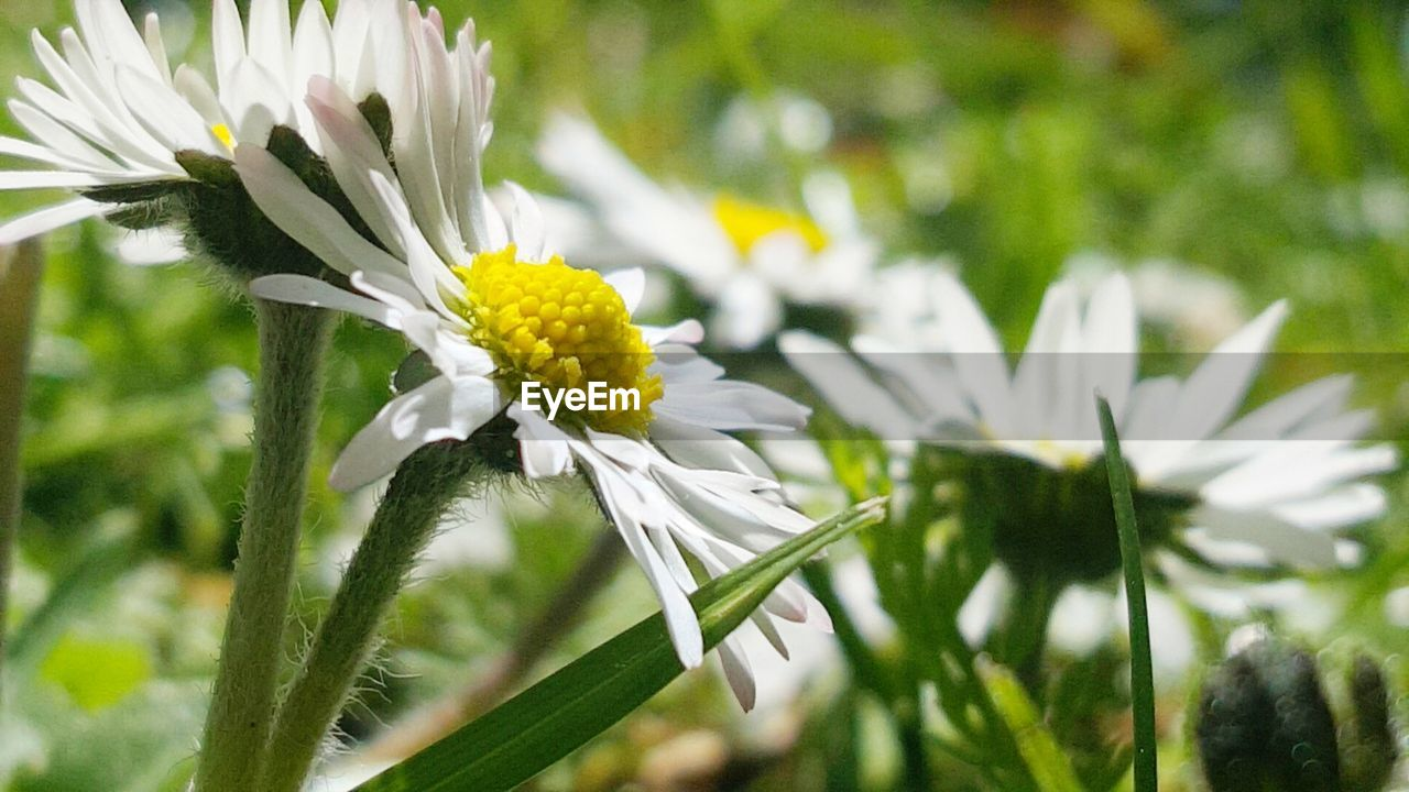 flower, growth, fragility, nature, petal, beauty in nature, freshness, white color, plant, flower head, blooming, day, outdoors, no people, green color, close-up
