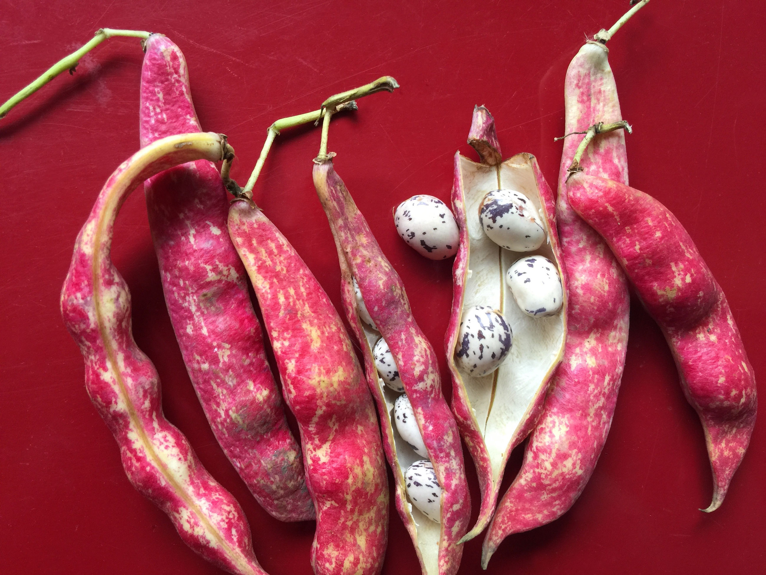 High angle view of cranberry beans on red table