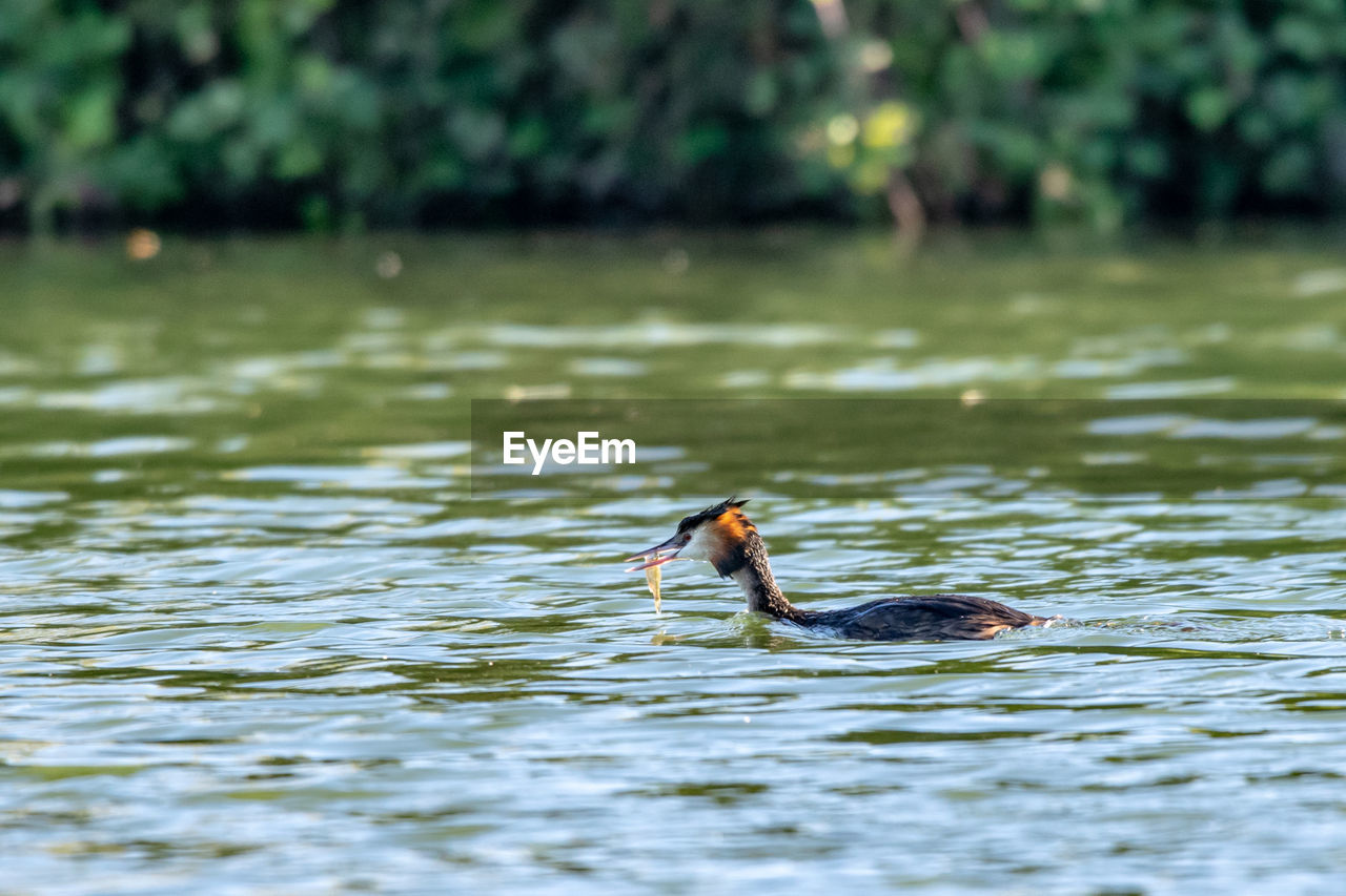 vertebrate, animal themes, animals in the wild, bird, swimming, animal, lake, water, animal wildlife, waterfront, one animal, no people, day, nature, water bird, duck, focus on foreground, young animal, young bird, outdoors, floating on water, animal family