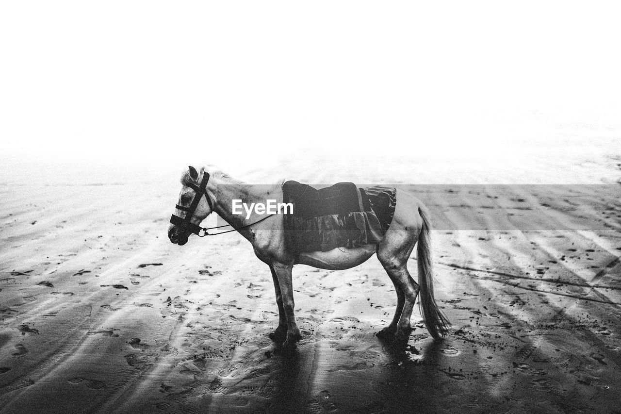 HORSE IN A SAND