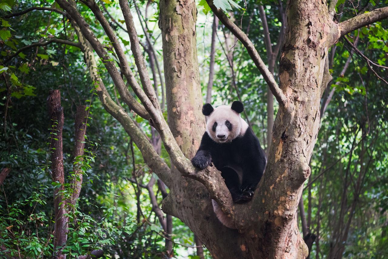 Panda bear on tree trunk