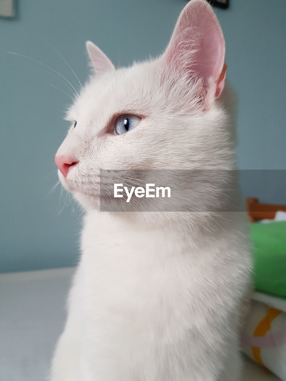 domestic, pets, one animal, mammal, animal themes, animal, domestic animals, cat, domestic cat, feline, vertebrate, close-up, looking away, looking, focus on foreground, white color, whisker, no people, indoors, animal body part, animal head, animal eye