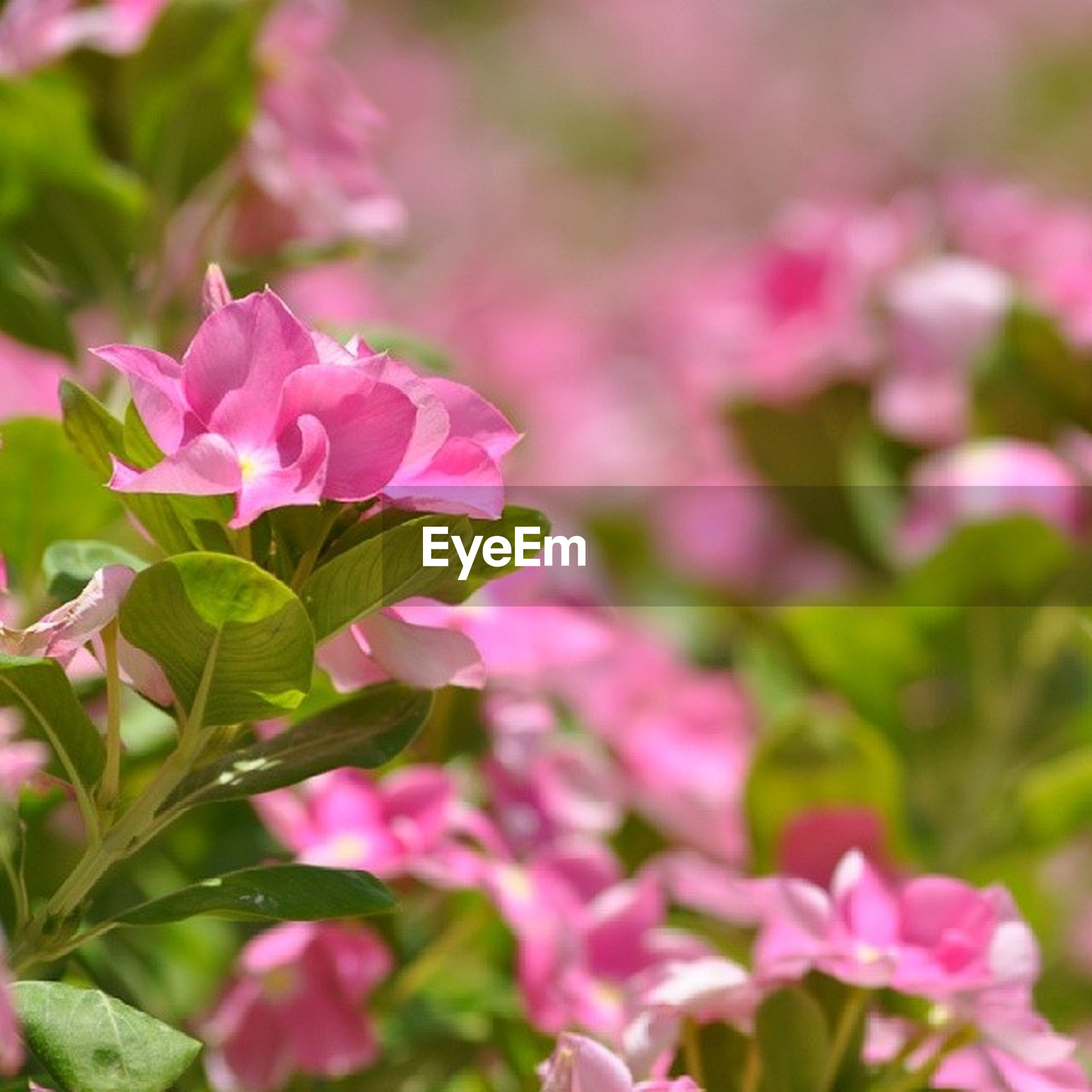 flower, freshness, petal, fragility, pink color, growth, beauty in nature, flower head, focus on foreground, close-up, nature, blooming, plant, selective focus, in bloom, pink, park - man made space, day, outdoors, bud