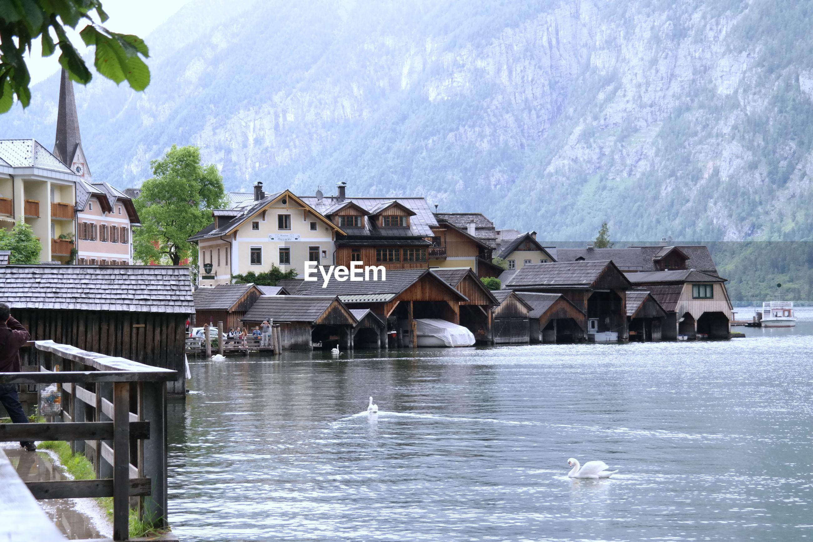 Swan swimming on lake hallstatt by village