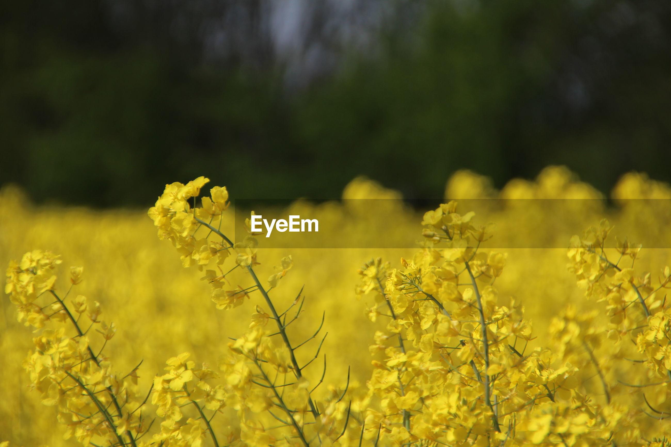 SCENIC VIEW OF YELLOW FLOWERING PLANTS