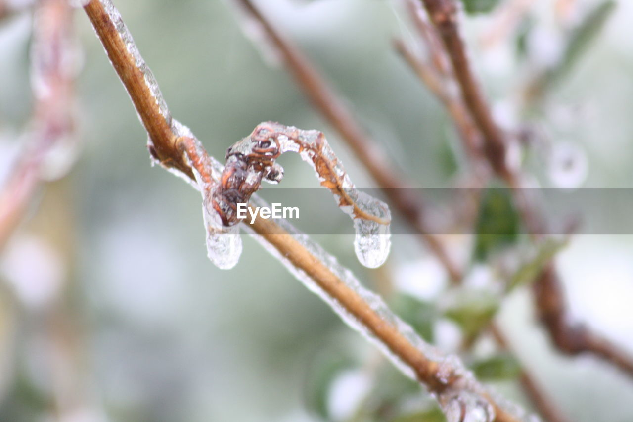 plant, winter, close-up, cold temperature, focus on foreground, nature, beauty in nature, day, no people, frozen, snow, twig, vulnerability, fragility, growth, selective focus, ice, drop, branch, outdoors, icicle, purity