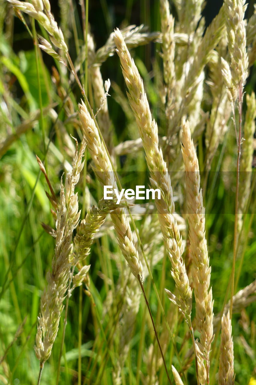 cereal plant, growth, wheat, crop, agriculture, plant, nature, farm, field, ear of wheat, no people, grass, close-up, day, rural scene, green color, rye - grain, outdoors, beauty in nature