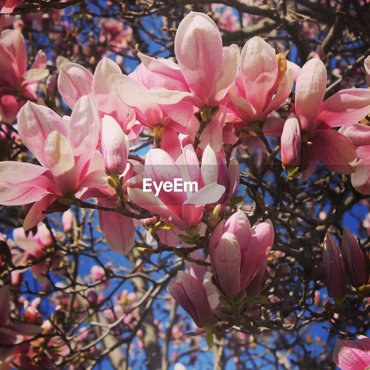 flower, pink color, growth, beauty in nature, fragility, petal, blossom, magnolia, tree, branch, freshness, nature, springtime, botany, no people, day, outdoors, flower head, twig, close-up, blooming, plant