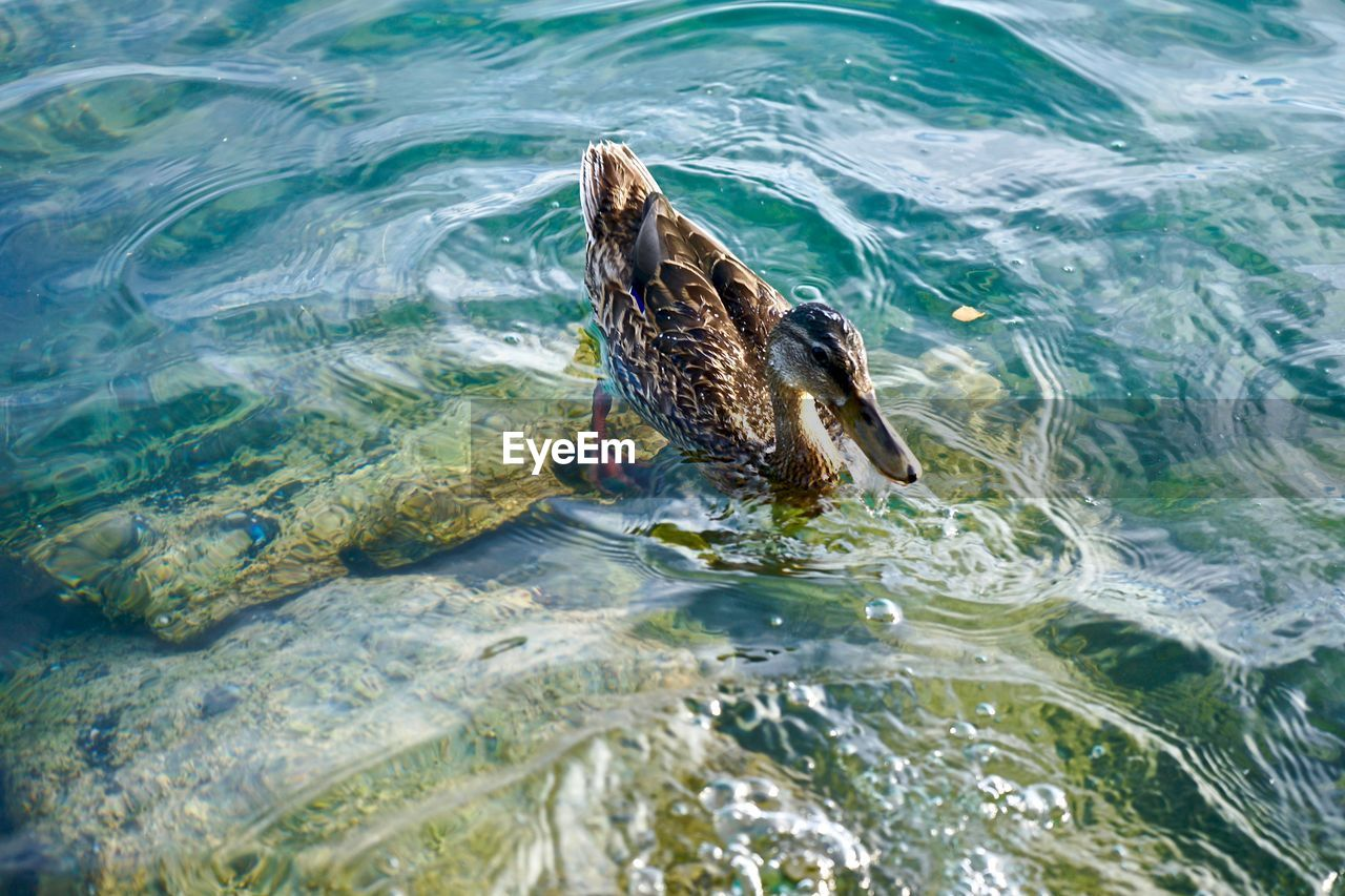 HIGH ANGLE VIEW OF DUCK SWIMMING ON SEA
