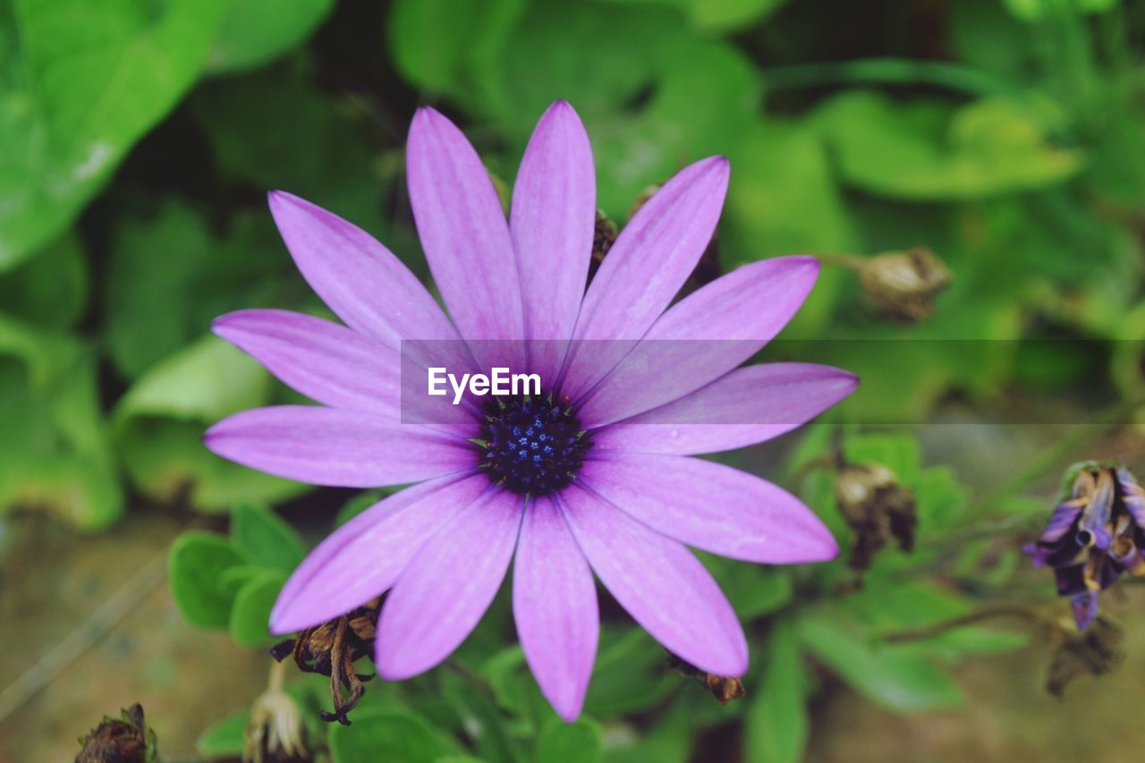 flower, petal, growth, nature, plant, fragility, flower head, beauty in nature, focus on foreground, day, outdoors, freshness, blooming, osteospermum, close-up, no people