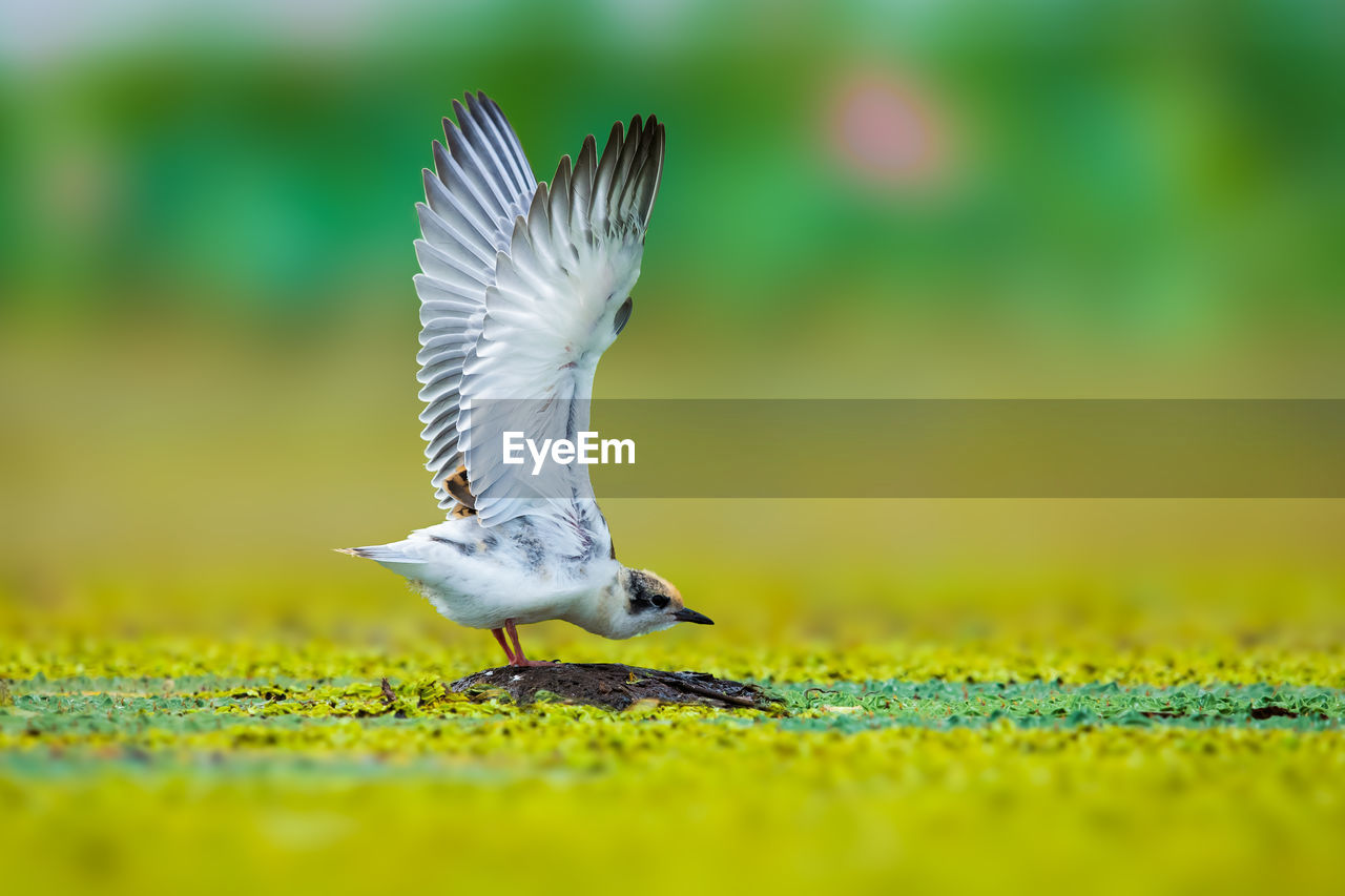 animals in the wild, animal themes, animal wildlife, animal, vertebrate, bird, flying, selective focus, spread wings, one animal, no people, day, nature, green color, outdoors, beauty in nature, close-up, full length, field, side view