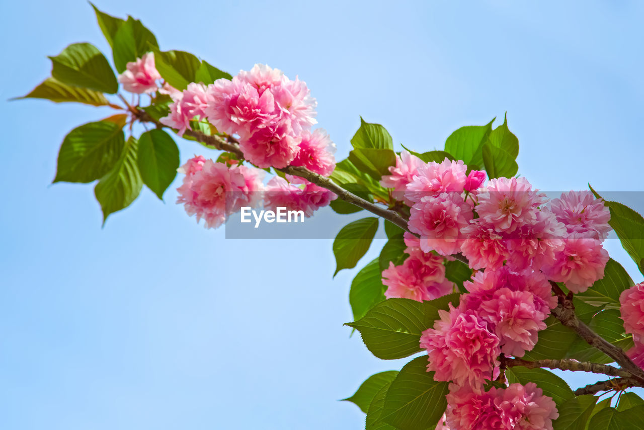flowering plant, flower, pink color, plant, freshness, beauty in nature, fragility, vulnerability, leaf, growth, petal, nature, plant part, sky, low angle view, close-up, day, clear sky, flower head, blossom, no people, outdoors, springtime, bunch of flowers, cherry blossom, cherry tree
