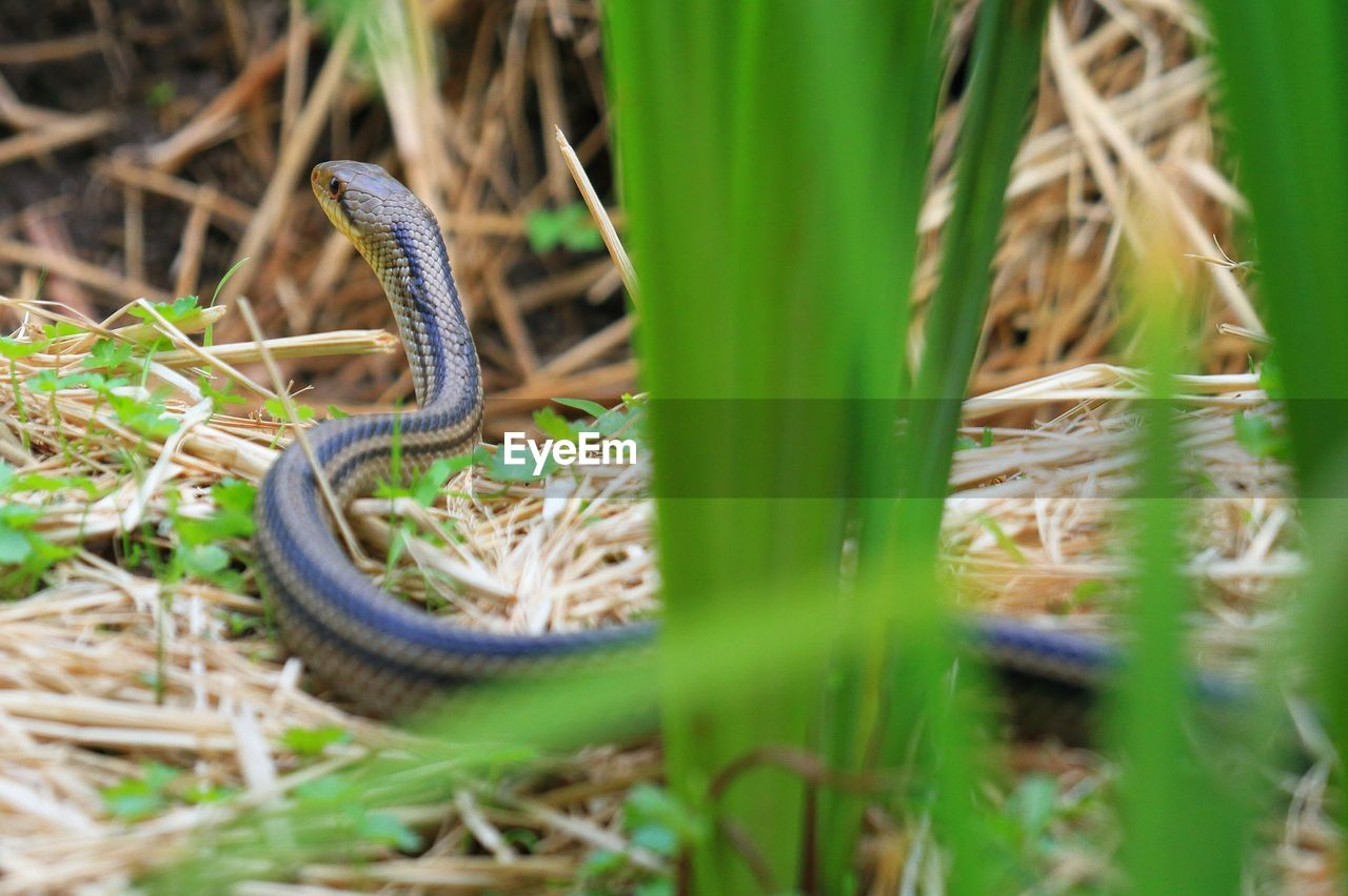one animal, animal themes, animals in the wild, reptile, animal wildlife, nature, grass, day, green color, no people, outdoors, close-up