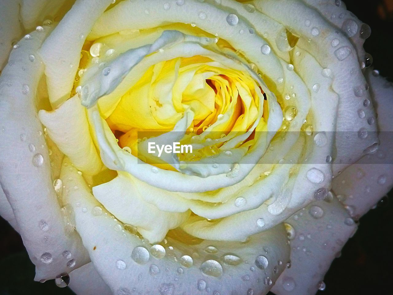 freshness, close-up, water, drop, wet, beauty in nature, flower, flowering plant, petal, inflorescence, vulnerability, no people, yellow, flower head, fragility, plant, rose, white color