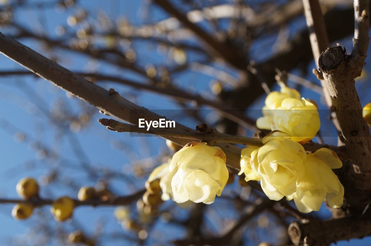 flower, fragility, nature, beauty in nature, branch, petal, growth, twig, yellow, blossom, springtime, no people, tree, freshness, flower head, outdoors, close-up, low angle view, day, sky