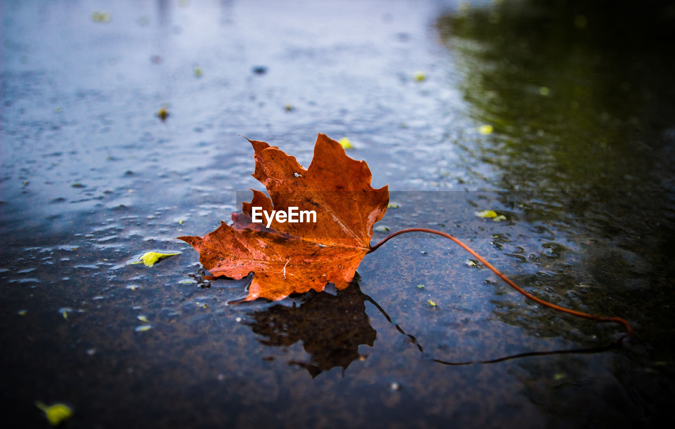 CLOSE-UP OF DRY MAPLE LEAF IN PUDDLE