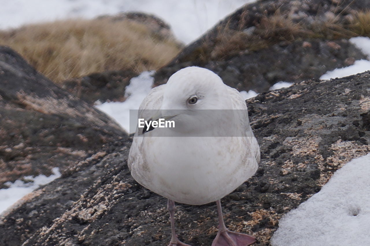 bird, animal themes, animal, vertebrate, animals in the wild, animal wildlife, one animal, day, focus on foreground, white color, close-up, no people, nature, rock, perching, rock - object, solid, outdoors, dove - bird, cold temperature, seagull