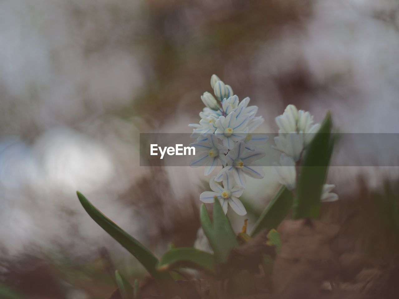 flower, nature, fragility, growth, white color, beauty in nature, blossom, freshness, selective focus, flower head, petal, plant, no people, close-up, focus on foreground, day, outdoors, springtime