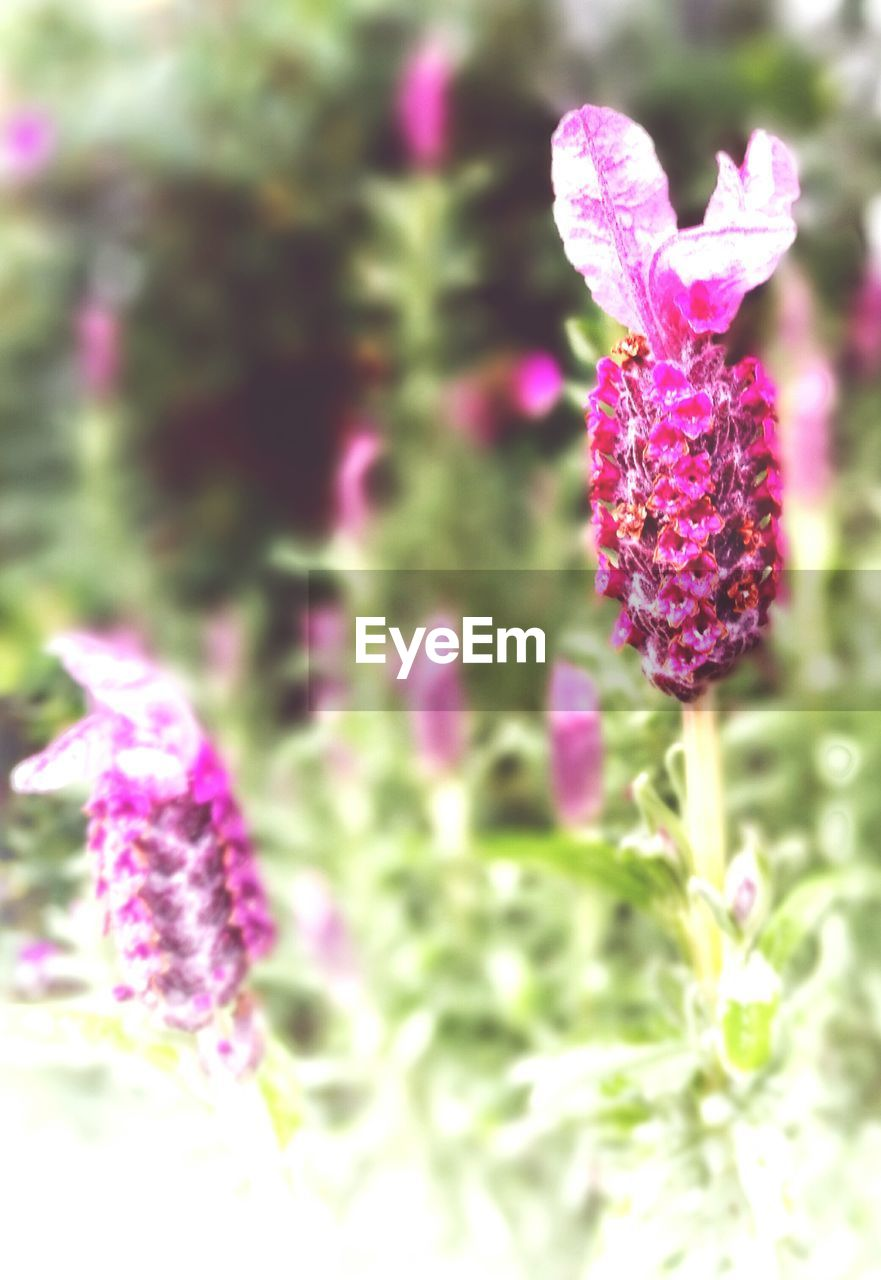 flower, purple, fragility, nature, petal, beauty in nature, pink color, plant, growth, freshness, no people, blooming, focus on foreground, flower head, outdoors, day, close-up