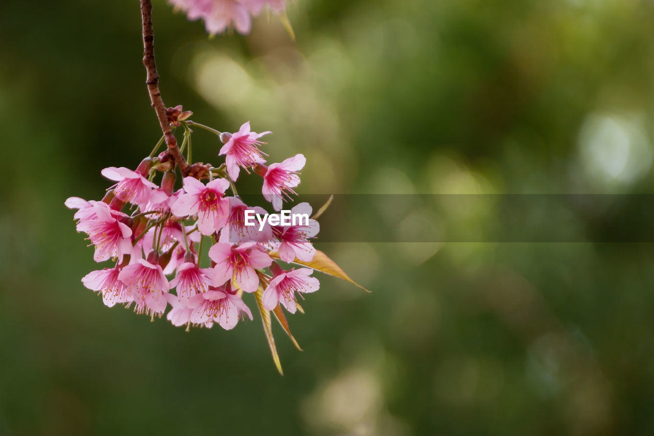 flower, pink color, beauty in nature, fragility, nature, growth, petal, focus on foreground, outdoors, freshness, flower head, day, blooming, close-up, no people, plant