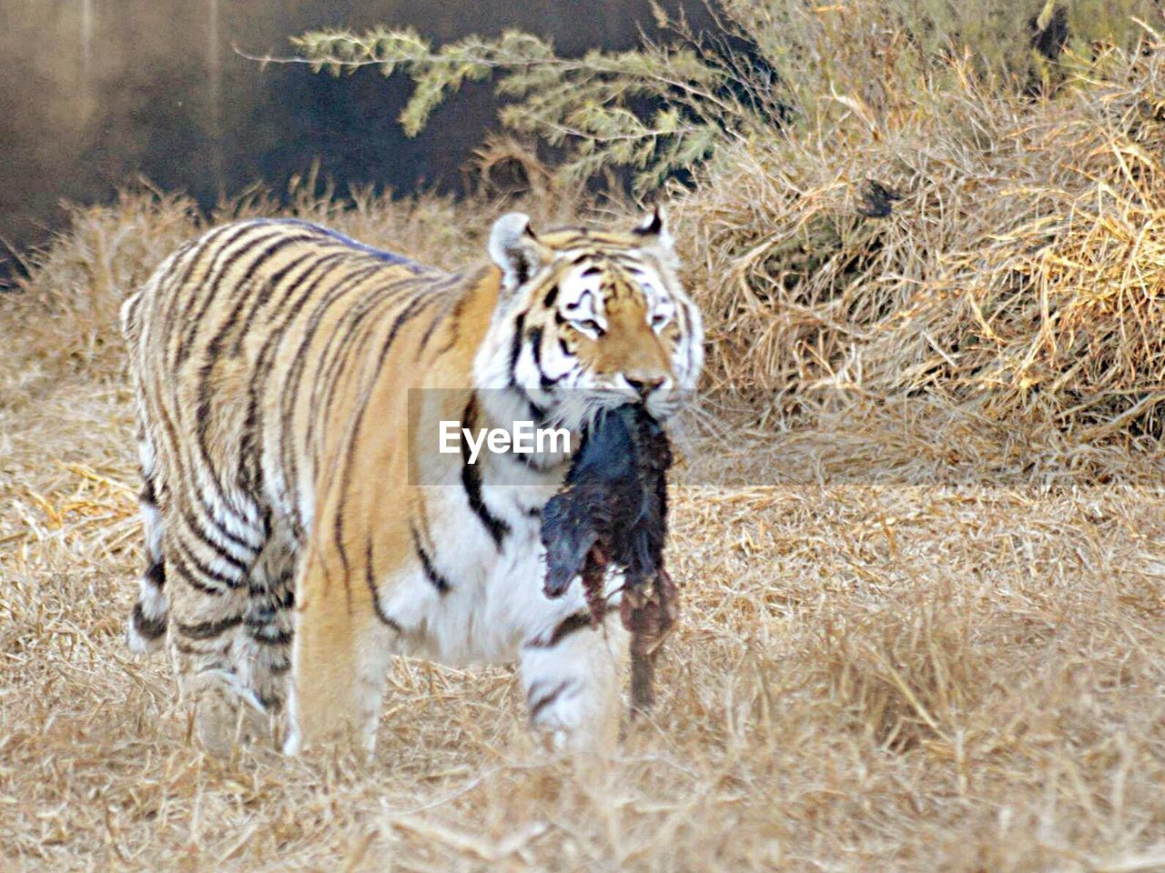 animals in the wild, animal wildlife, one animal, animal themes, tiger, day, no people, mammal, outdoors, nature, grass, full length, portrait, safari animals, zebra