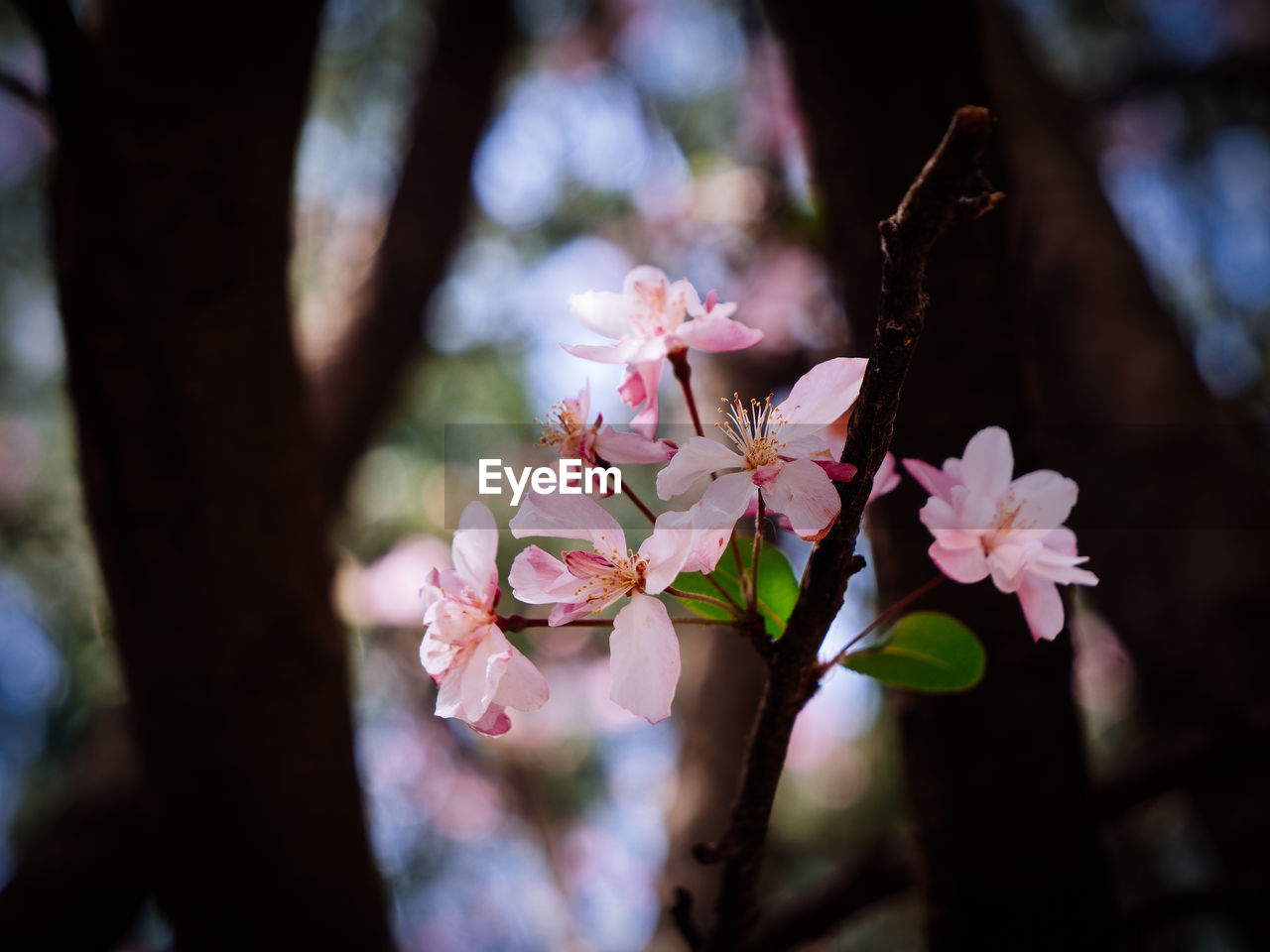 flower, flowering plant, plant, growth, beauty in nature, fragility, vulnerability, freshness, close-up, petal, tree, day, pink color, blossom, focus on foreground, nature, selective focus, springtime, no people, branch, outdoors, flower head, pollen, cherry blossom, cherry tree