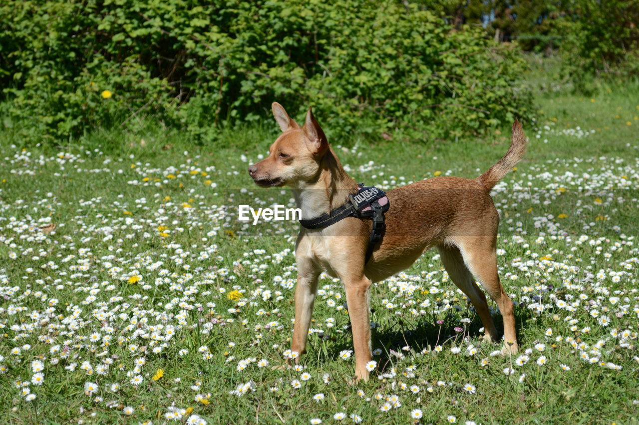 Side view of a dog on grassland