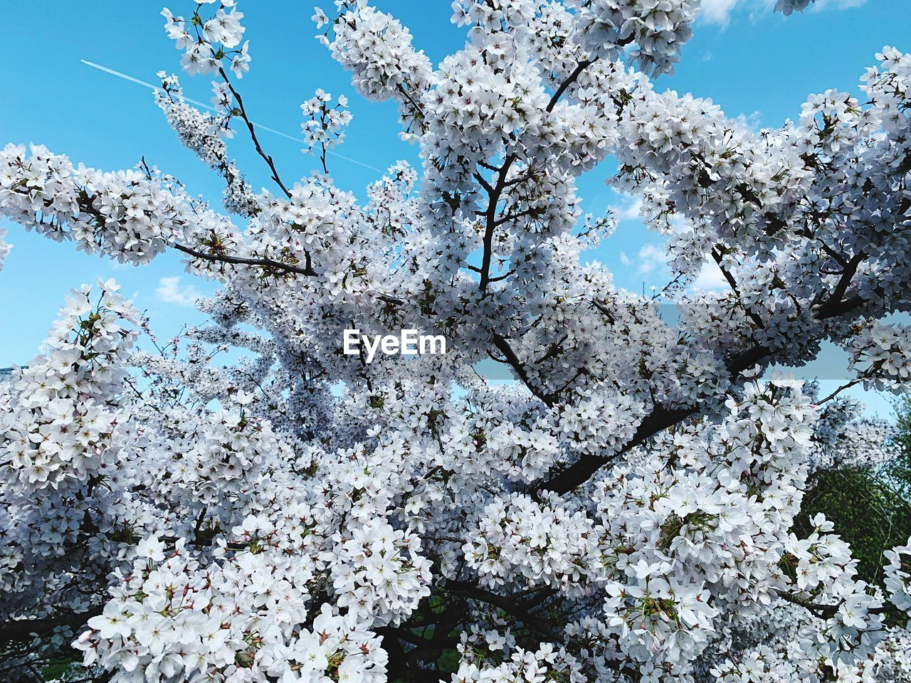 flowering plant, plant, flower, fragility, beauty in nature, blossom, growth, springtime, vulnerability, low angle view, tree, day, nature, freshness, branch, white color, no people, sky, cherry blossom, tranquility, cherry tree, outdoors, spring, flower head, bunch of flowers