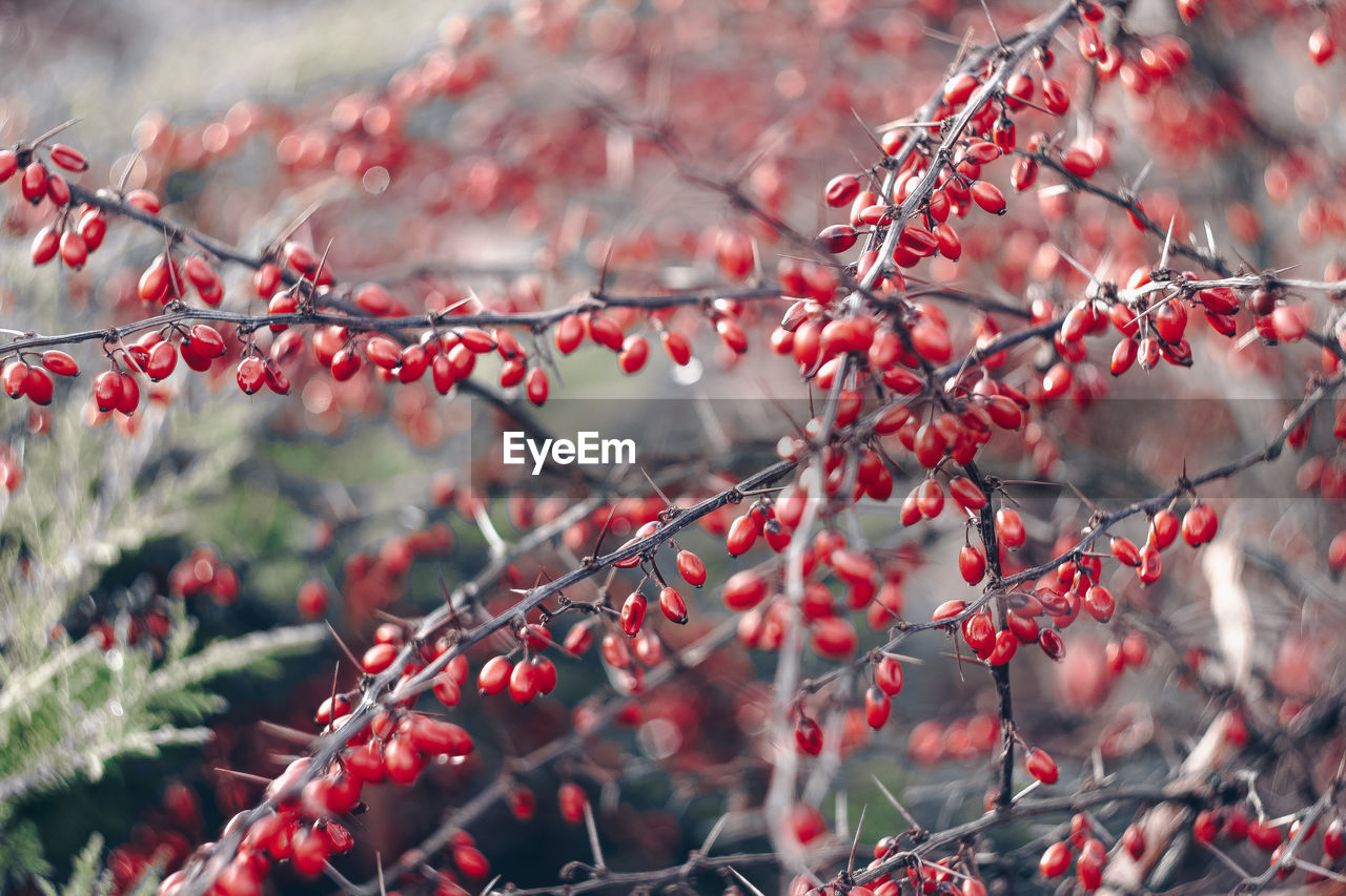 healthy eating, plant, berry fruit, fruit, growth, tree, branch, food and drink, food, red, day, beauty in nature, freshness, nature, selective focus, close-up, focus on foreground, no people, outdoors, wellbeing, rowanberry, ripe