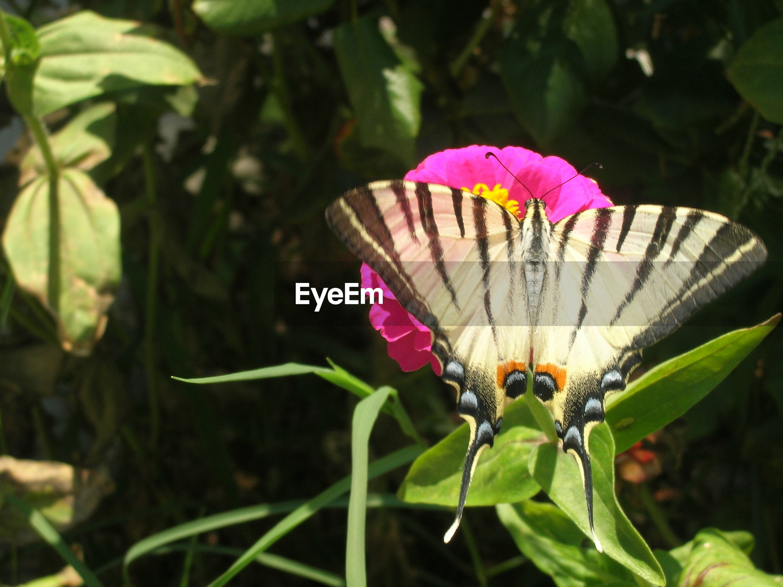 flower, one animal, animals in the wild, insect, wildlife, animal themes, fragility, leaf, growth, focus on foreground, pink color, close-up, nature, beauty in nature, plant, butterfly - insect, freshness, butterfly, petal, green color