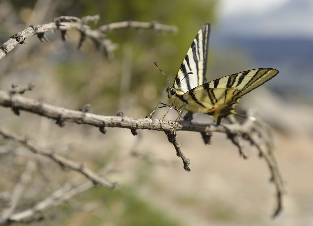 invertebrate, insect, one animal, animals in the wild, animal wildlife, animal themes, focus on foreground, animal wing, animal, close-up, day, no people, nature, butterfly - insect, plant, beauty in nature, outdoors, selective focus, animal markings, leaf, butterfly